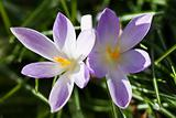 Purple and white spring crocus