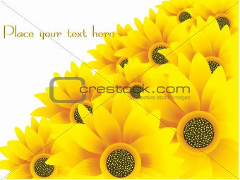 beautiful sunflowers yellow vector