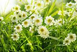 Closeup of daisies in field
