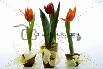 Beautiful and red tulip