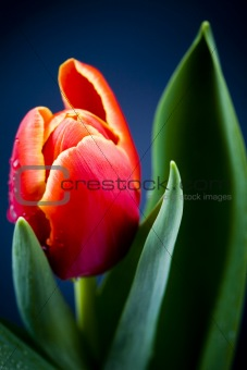 Beautiful red tulips close up