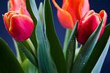 Spring flowers - Tulips