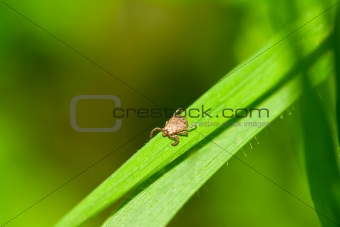 Male Pacific Coast Tick on Grass