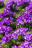 Field of purple spring crocus