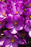 Croup of purple spring crocus
