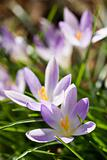 Group of purple and white crocus