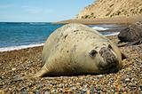 Elephant seal in Patagonia.