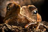 crested toad hiding