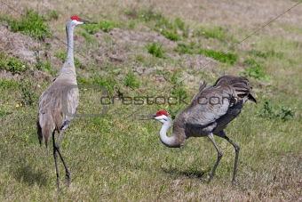 Pair Sandhill Cranes Courting