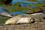 Elephant seals in Patagonia.