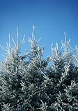 Frosty fir trees