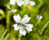 Burrowing Bee, Genus Andrena, on Meadowfoam, Limnanthes douglasi