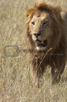 African lion  walking in savannah