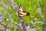 Western Tiger Swallowtail, Papilio rutulus, on Lavender