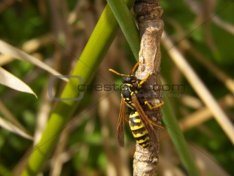 climbing wasp