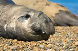 Elephant seal in Peninsula Valdes, Patagonia.