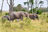 elephants  herd