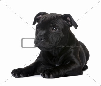 puppy Staffordshire Bull Terrier (2 months)