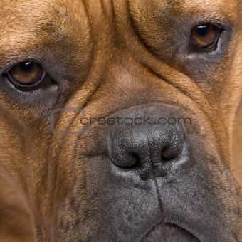 Dogue de Bordeaux (1 year)
