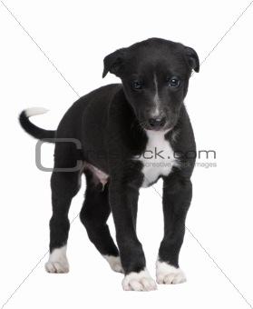 Greyhound puppy (6 weeks)
