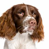 English Springer Spaniel (10 months)