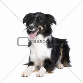 Border Collie (1.5 years)
