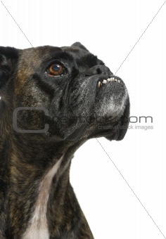 Close up on a Boxer