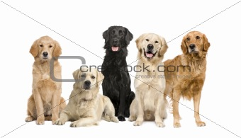 group of 5 golden retriever and labrador facing the camera