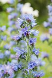 Viper&#39;s bugloss (Echium vulgare)