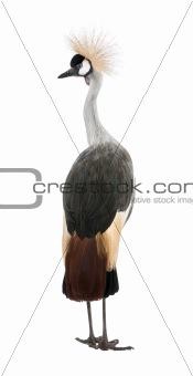 Grey Crowned Crane - Balearica regulorum (18 months)