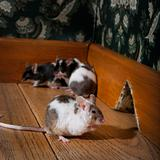 group of mice walking in a luxury old-fashioned room