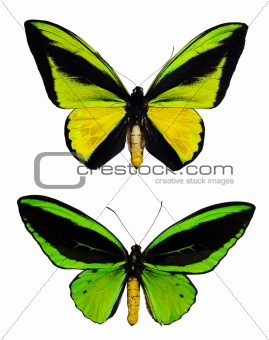 Green butterflies isolated