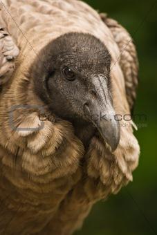 California Condor sitting