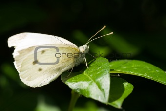 Small white on green leaf
