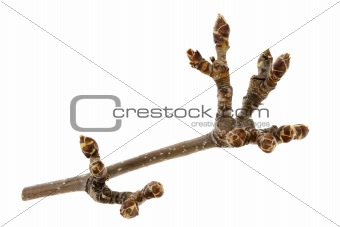 branch of pear tree with buds