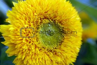 beautiful yellow decorative Sunflower petals closeup