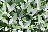 Gray Green Sage Plants