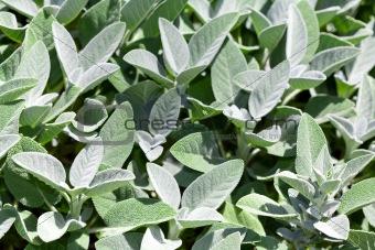 Gray Green Sage Plants