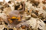 California Newt in Oak Leaves