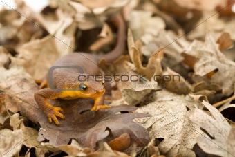 California Newt in Oak Leaves