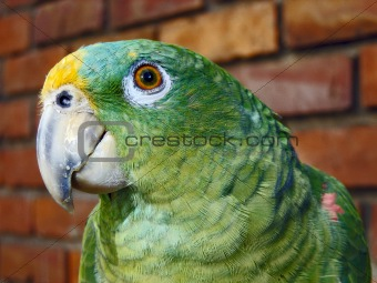 old parrot