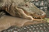 Alligators Closeup