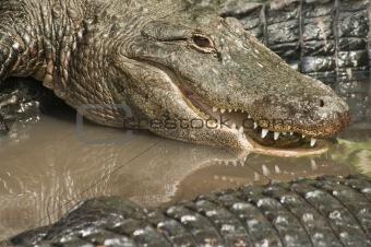 Alligators Closeup