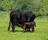 Black Calf suckling from its mother