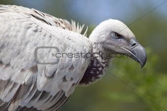 African Cape vulture