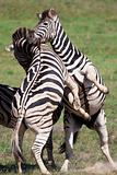 Zebras playing