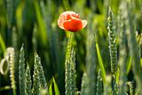 Red poppies on field in spring