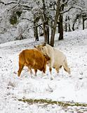 Cows Fighting in the Snow