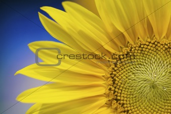 a fresh yellow sunflower in summer with a blue background