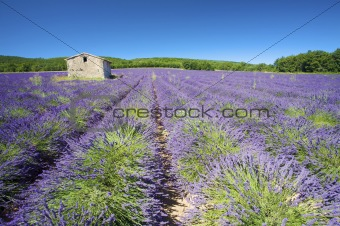 Fresh and bright Lavender fields in France in summer